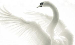 拍打翅膀的白天鹅高清摄影图片