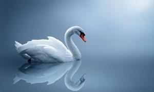游弋在白天鹅高清图片素材