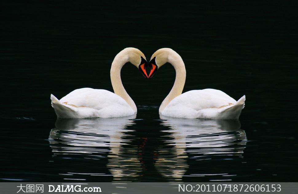黑色背景白天鹅高清图片素材
