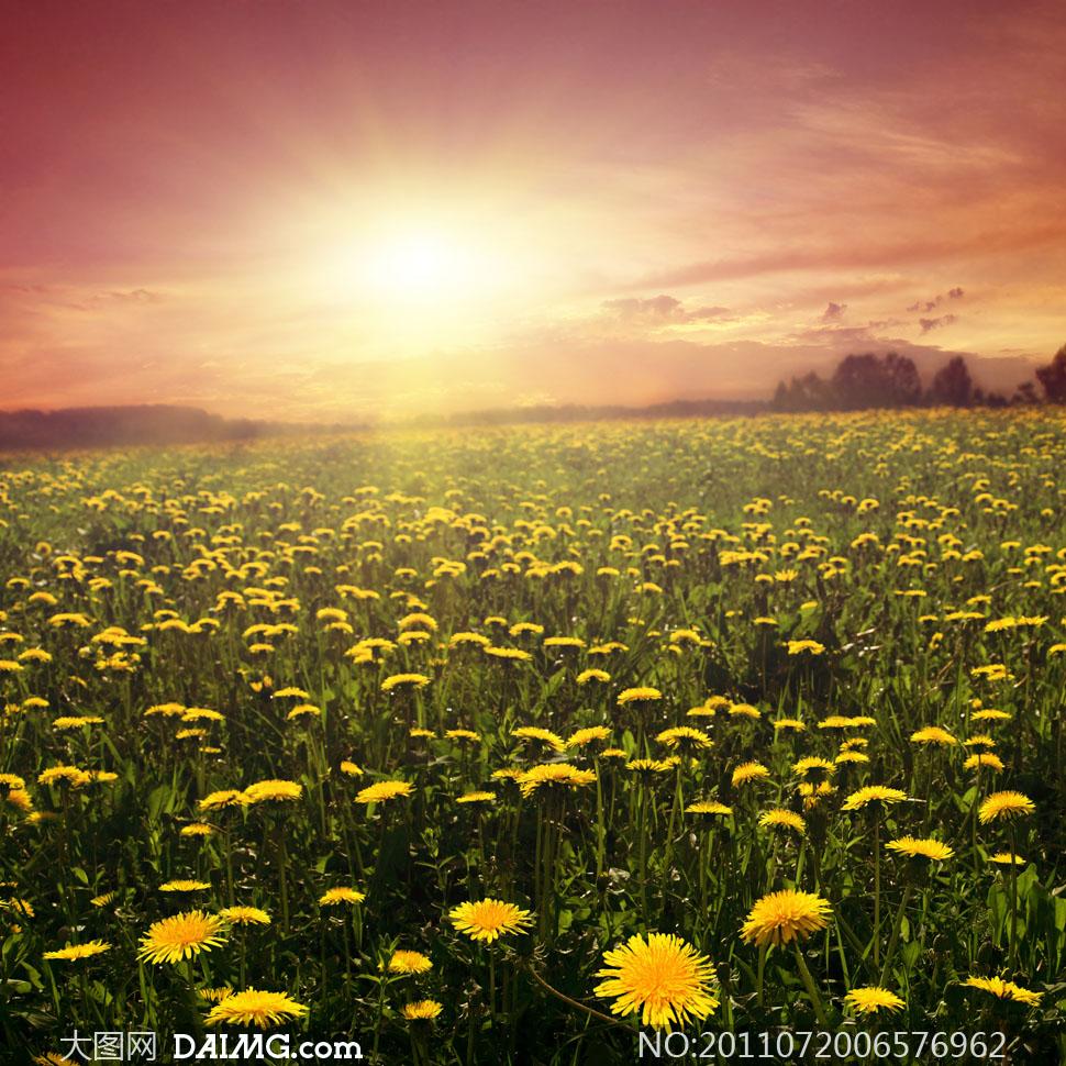 朝阳照耀下蒲公英田地