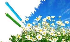 洋甘菊花丛与铅笔创意高清图片