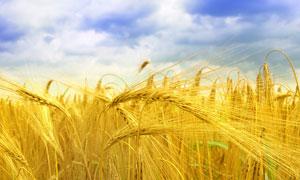 金黄大麦庄稼地高清摄影图片