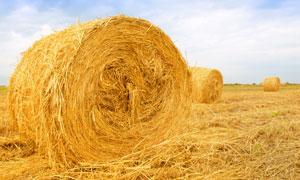 收割后麦田里的麦捆高清摄影图片