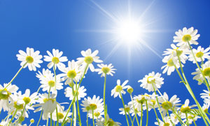 太阳光照耀下的洋甘菊高清摄影图片