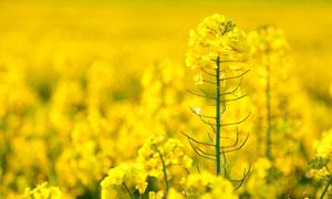 春天油菜花镜头特写高清摄影图片