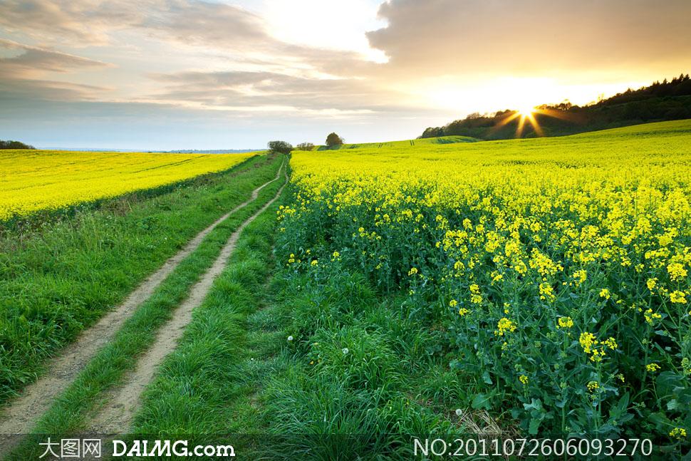 春天油菜地田园风光摄影高清图片
