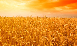 收获季节的小麦高清摄影图片