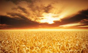 金黄色小麦田景象高清摄影图片