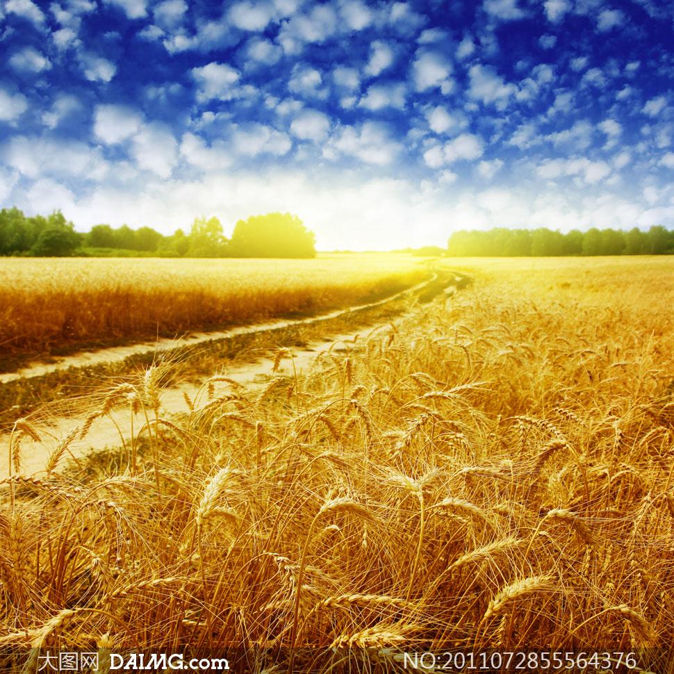 蓝天白云成熟的小麦高清摄影图片