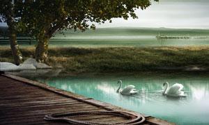 池塘里游水的白天鹅唯美风景PSD分层素材