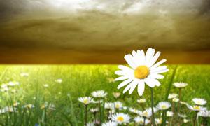 田园中盛开的菊花摄影图片