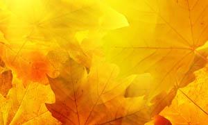 金黄色秋季枫叶图片素材
