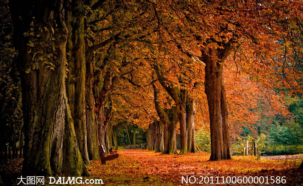 深秋树林金黄效果摄影图片图片
