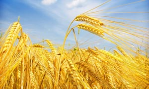 成熟的小麦麦田摄影图片
