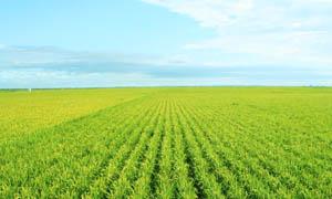 万里无边的稻田摄影图片