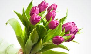 单手拿着郁金香花朵高清摄影图片