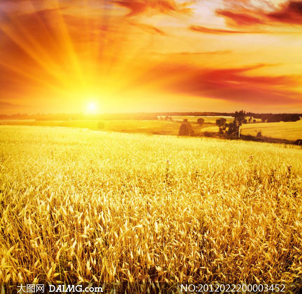 Картинка пшеничное поле