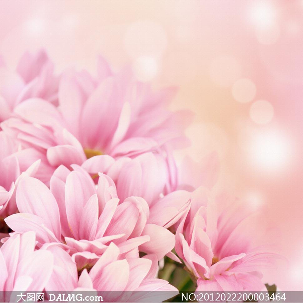 梦幻粉红色菊花背景图片素材下载 关键词: 菊花节日礼物花卉花朵