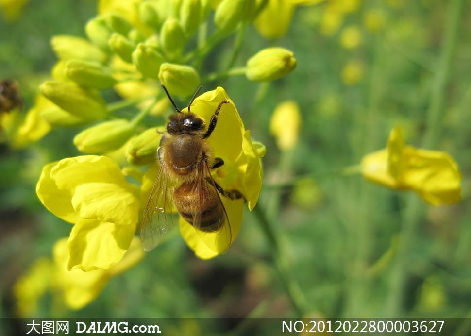 春天正在采蜜的小蜜蜂摄影图片