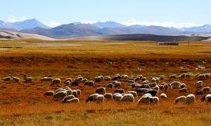 西藏草原上的羊群摄影图片