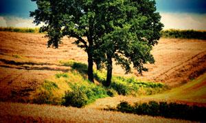山坡上的大树风格LOMO风格摄影高清图片