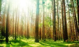 直入云霄的参天大树风景摄影高清图片