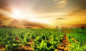 阳光照耀下的葡萄庄园高清摄影图片