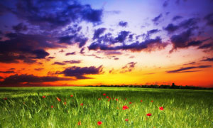麦田里的红花摄影高清图片