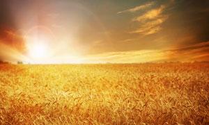 夏日麦田里成熟的麦子高清摄影图片