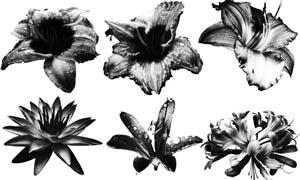 百合花花朵笔刷