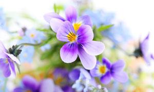 三色堇鲜花镜头特写高清摄影图片