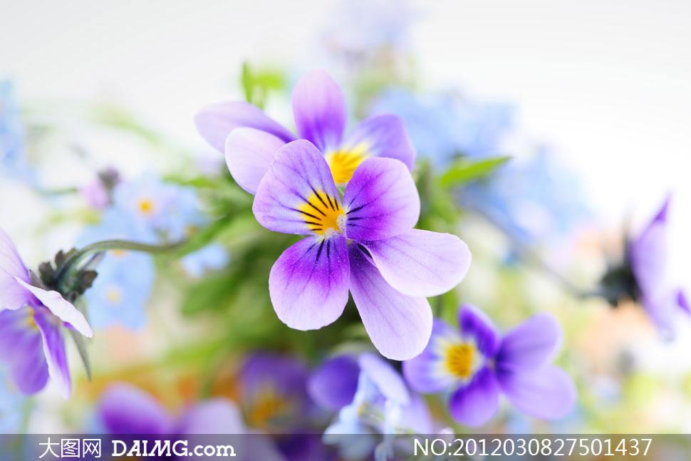 关键词: 高清大图图片摄影素材鲜花花朵花卉特写静物紫色黄色三色堇三