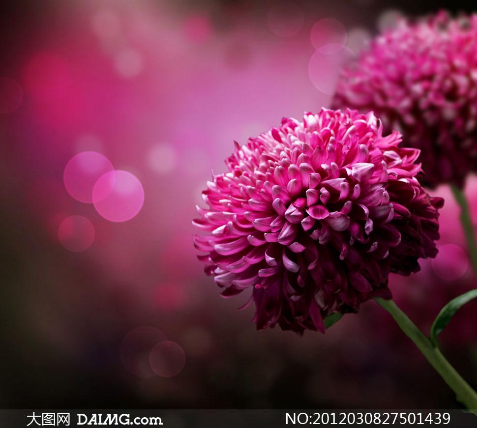 紫红色大丽花近景特写高清摄影图片