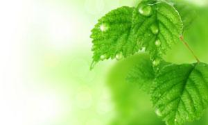 春天带有水珠的绿色树叶高清摄影图片