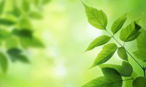 春天绿叶近景特写高清摄影图片