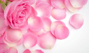 粉色玫瑰花与花瓣特写高清摄影图片