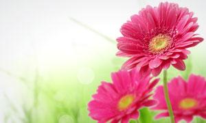 粉红色非洲菊微距摄影高清图片