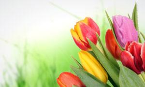 带有水珠的郁金香花朵高清摄影图片
