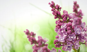 春天紫色丁香花静物特写高清摄影图片
