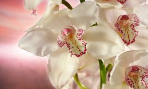 白色兰花与水中的倒影高清摄影图片