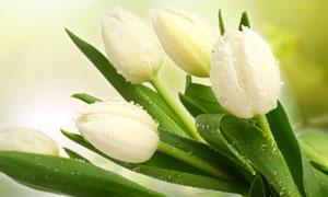 水中的白色郁金香花朵摄影高清图片