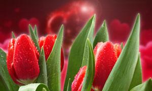 红色鲜艳郁金香花朵摄影高清图片