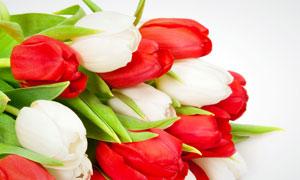 红色与白色郁金香花束摄影高清图片