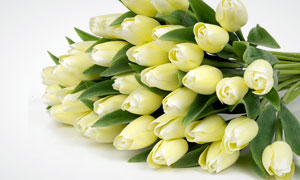 黄色郁金香花束摄影高清图片