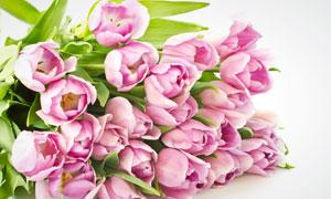 粉红色郁金香花朵摄影高清图片