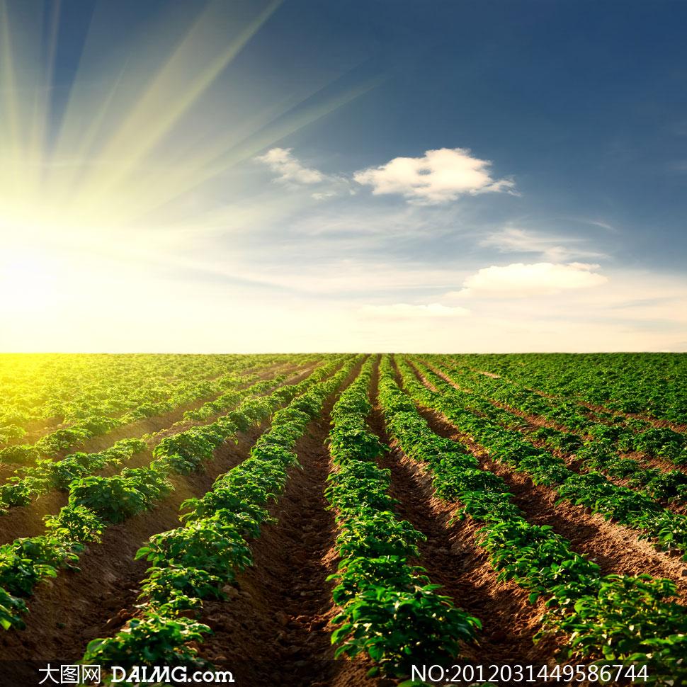 阳光照耀下的庄稼地摄影高清图片
