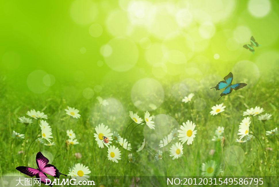 蝴蝶飞舞的雏菊草丛春天背景高清图片