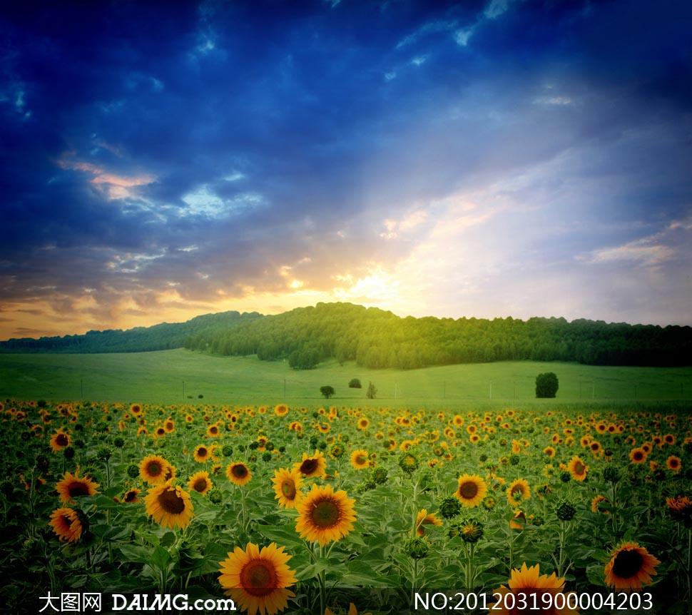 阳光下的向日葵摄影图片