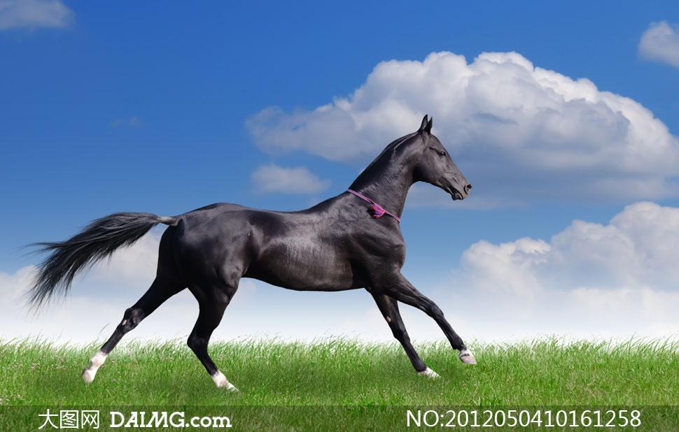 奔跑在草地上的黑马摄影高清图片 - 大图网设计素材图片