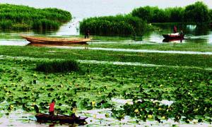 夏季湖上采莲摄影图片